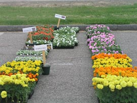 Annual Plant Sale - Marigolds